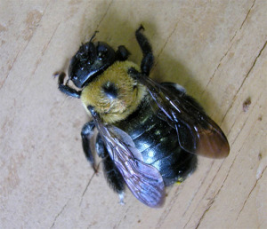 carpenter-bee-fig-1