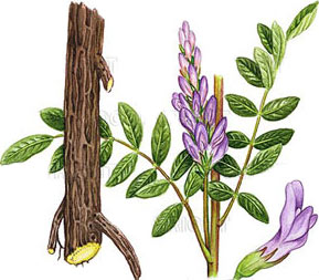 Licorice-Plant