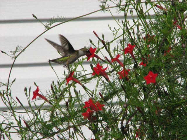 cardinal vine