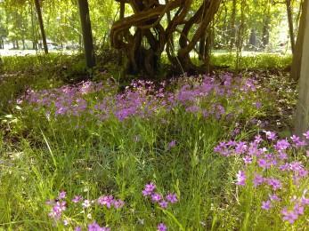 Creeping Phlox under a Grape Arbor