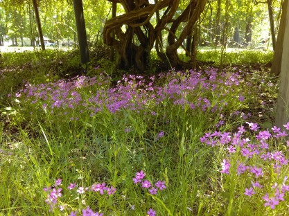 Creeping Phlox under a Grape Arbor