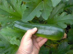zucchini 10